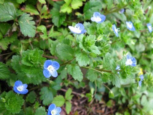 相对喜欢这种蓝色小花