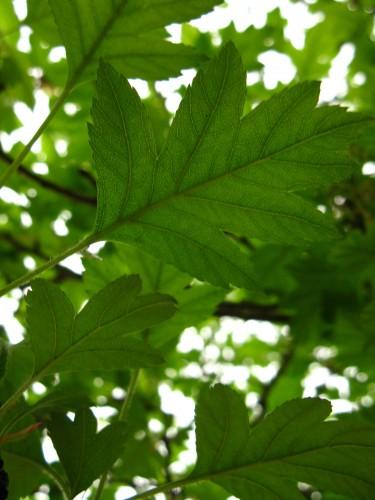 叶子 No.52 - 山楂树叶