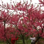面对满树红花开,人们争相站位合影留念
