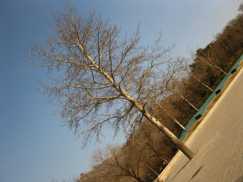 八达岭入口前广场的树